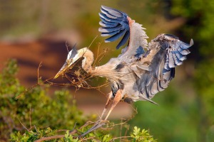 A Great Blue Heron flies home with nesting material, Venice Rookery